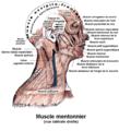 Muscle mentonnier.png