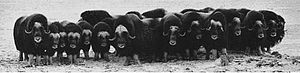 Title: Nunivak Musk Oxen in Defensive Formatio...