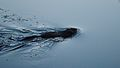 Muskrat (Ondatra zibethicus) - Gatineau Park, Quebec.jpg