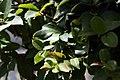 Myrciaria cauliflora 22zz.jpg