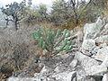 Myrtillocactus geometrizans (5692197911).jpg