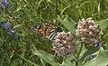 NKN d70, un monarque ,2007-06-29 ,by Yvan Leduc, 100418.jpg