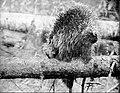 NSRW Porcupine.jpg