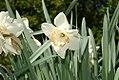 Narcissus Coral Ribbon 0zz.jpg
