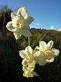 Narcissus dubius0888 02.JPG