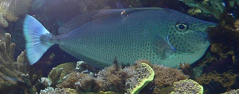 http://upload.wikimedia.org/wikipedia/commons/thumb/3/32/Naso_brevirostris_-_Sch%C3%A4rpen-Nasendoktorfisch.jpg/800px-Naso_brevirostris_-_Sch%C3%A4rpen-Nasendoktorfisch.jpg