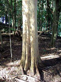 Native Elm Wingham Brush