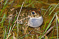 Natterjack Toad (Epidalea calamita) male calling (16597284327).jpg