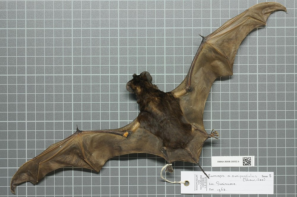 The average adult weight of a Black bonneted bat is 28 grams (0.06 lbs)