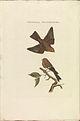 Nederlandsche vogelen (KB) - Carduelis flavirostris (338b).jpg