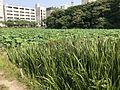 Nelumbo nucifera in north moat of Fukuoka Castle 7.jpg