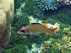 Mouthfin squirrelfish (Neoniphon opercularis)