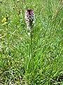 Neotinea ustulata subsp. ustulata sl5.jpg