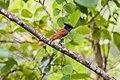 Nepali Paradise Flycatcher स्वर्गचरी Female.jpg