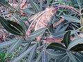 Nerium oleander (4387557192).jpg