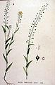 Neslia paniculata — Flora Batava — Volume v19.jpg