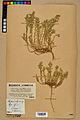 Neuchâtel Herbarium - Alyssum alyssoides - NEU000021937.jpg