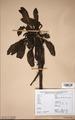 Neuchatel Herbarium Types NEU000113066.tif