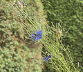 Nigella damascena01.jpg