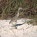 Night Heron (Yellow Crowned Juvenile?) (5270948580).jpg
