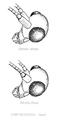 Nineta species head detail.png