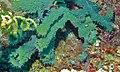 Niphatid Sponge (Gelliodes fibulata) (8477870967).jpg