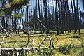 No Canyon Rd - Burned area - regrouth from 1988 fire.jpg