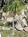 Nolina longifolia (villa Hanbury, Italy).jpg