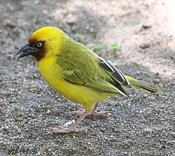 Northern Brown-throated Weaver (Ploceus castanops).jpg