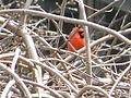 Northern Cardinal Male4.JPG