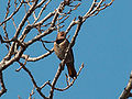 Northern Flicker 4713.jpg