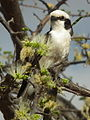 Northern White-crowned Shrike Eurocephalus ruepelli in Tanzania 0929 cropped Nevit.jpg