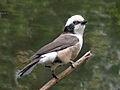Northern White-crowned Shrike RWD2.jpg
