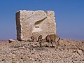 Nubian ibex by a sculpture in Mitzpe Ramon (40380).jpg