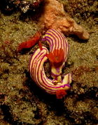 Nudibranchs in mating dance at Ponta do Ouro, Mozambique.jpg