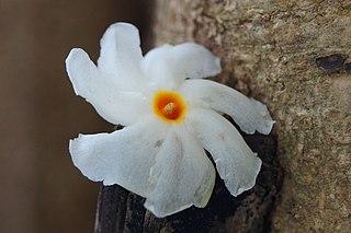 <i>Nyctanthes arbor-tristis</i> Species of plant