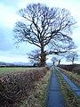 Oaks on the road above Llifior - geograph.org.uk - 653091.jpg
