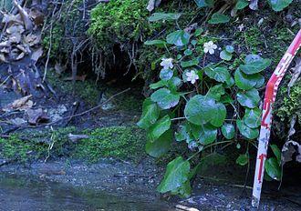 Shortia galacifolia - Image: Oconee Bells Highlands Biological Station