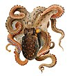Octopus vulgaris Merculiano.jpg