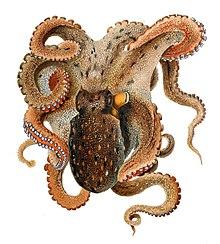 common octopus wikipedia