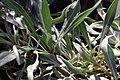 Oenothera fremontii Lemon Silver 1zz.jpg