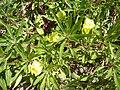 Oenothera missouriensis 2.JPG