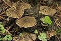 Offermannsheide 27.07.2017 Melanophyllum haematospermum (36261880134).jpg