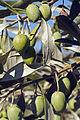 Olives (Tanche) (Drome 26000) Cl9.J Weber (10) (23158684692).jpg