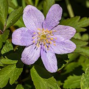 Oosterse anemoon (Anemone blanda) (d.j.b.).jpg