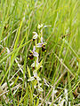 Ophrys fuciflora (habitus).jpg
