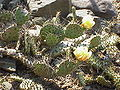 Opuntia humifusa0.jpg