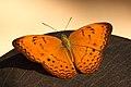 Orange Butterfly (4201956193).jpg