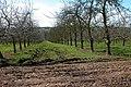 Orchards near Oakfields Farm - geograph.org.uk - 149048.jpg