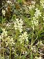 Orchis provincialis (plants).jpg